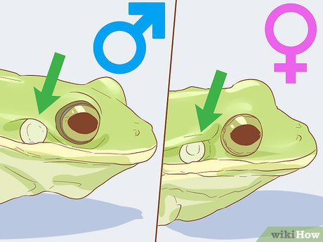 v4-460px-Tell-if-Your-Tree-Frog-Is-Male-or-Female-Step-3-Version-3.jpg