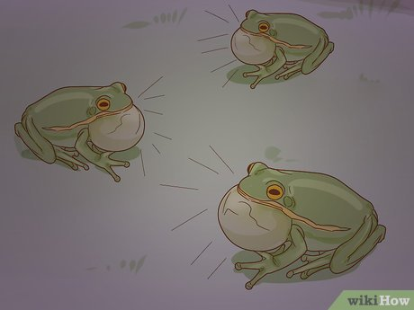 v4-460px-Tell-if-Your-Tree-Frog-Is-Male-or-Female-Step-6-Version-3.jpg