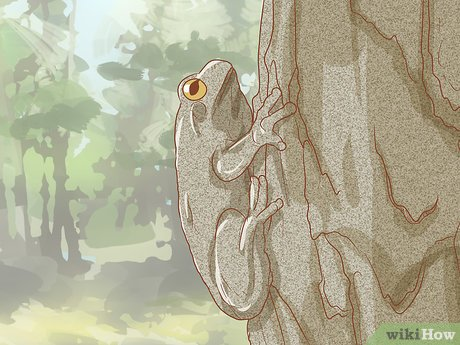 v4-460px-Tell-if-Your-Tree-Frog-Is-Male-or-Female-Step-8-Version-2.jpg
