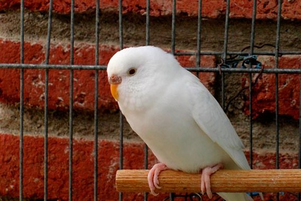 volnistik-albinos.jpg