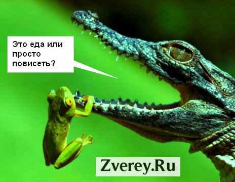 krokodil-est-lyagushku.jpg