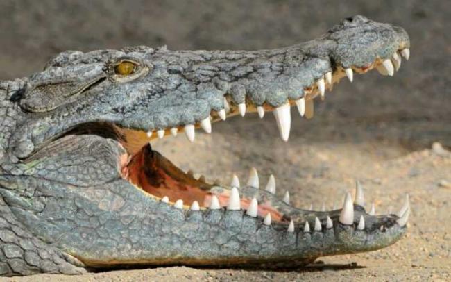 krokodil-5-2.jpg
