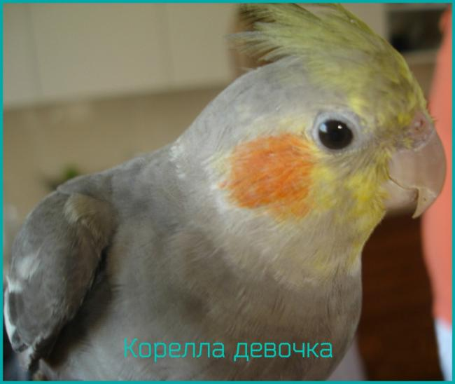 попугай-корелла-девочка-2-1024x864.jpg