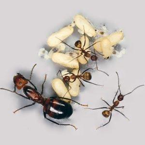 Camponotus nicobarensis: матка и рабочие