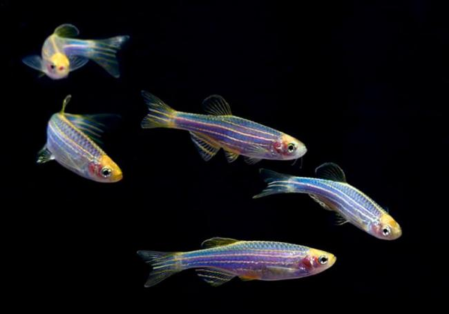 glofish-1.jpg