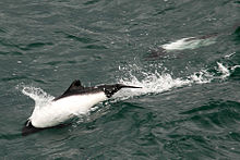 220px-Commerson_Dolphin_closer.jpg