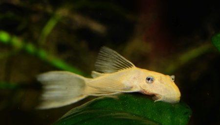 ancistrus-albinos-opisanie-i-soderzhanie.jpg