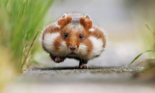 hamster-run.jpg