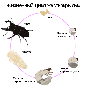300px-Life_cycle_of_stag_beetle_RUS2.png