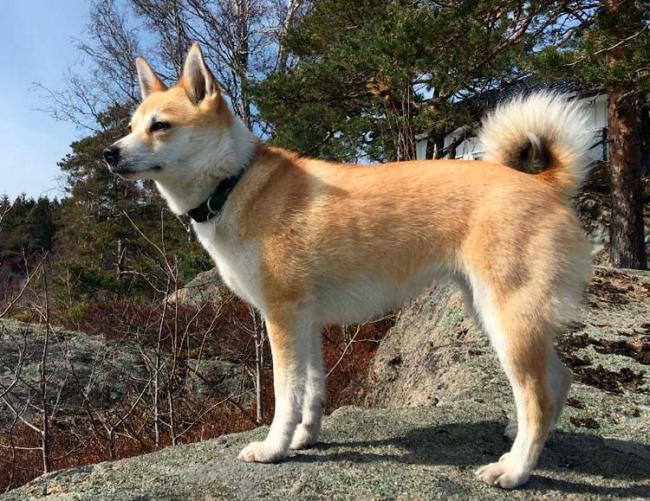 norvezhskij-lundehund-12.jpg