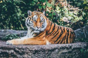polosatyj-tigr-300x200.jpg