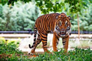 tigr-dikaya-koshka-300x200.jpg