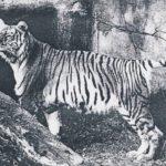 zakavkazskij-tigr-150x150.jpg