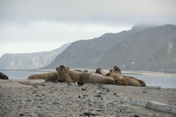 animals-in-atlantic-ocean-walrus.jpg