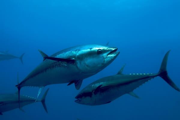 animals-in-atlantic-ocean-bluefin-tuna.jpg
