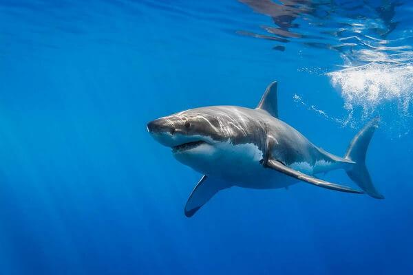 animals-in-atlantic-ocean-great-white-shark.jpg