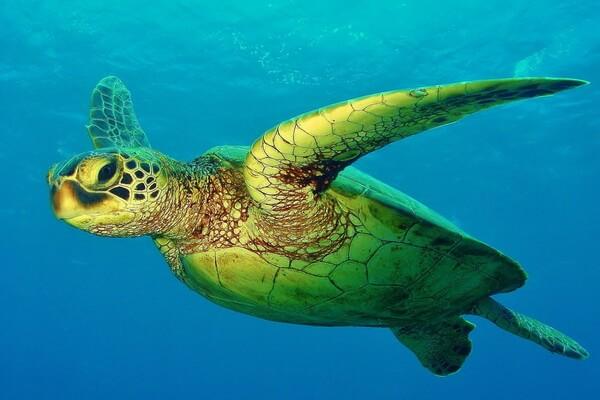 animals-in-atlantic-ocean-green-sea-turtle.jpg