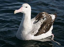 265px-070226_wandering_albatross_off_Kaikoura_3.jpg