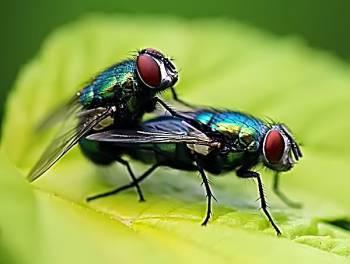 размножение-мух.jpg