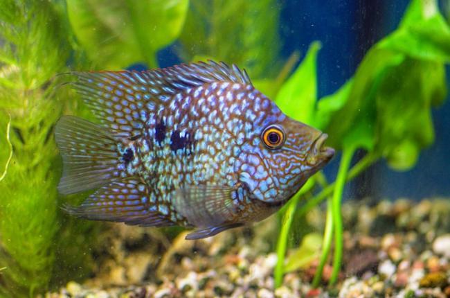 brilliantovaya-cihlazoma-v-akvariume.jpg