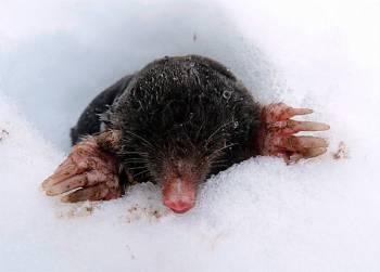 крот-вылез-из-под-снега.jpg