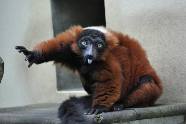 lemur-vari-ryzhij-animal-reader.ru-001.jpg