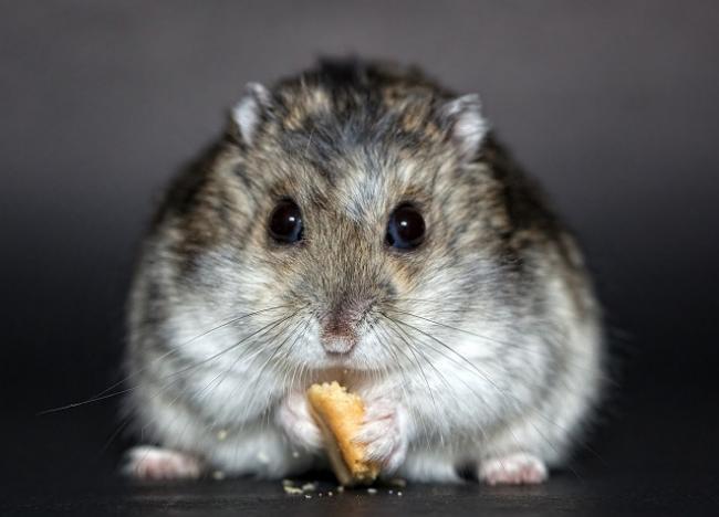 hamster-s-bulkoi.jpg