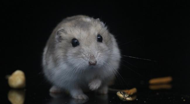 hamster-ugroza.jpg