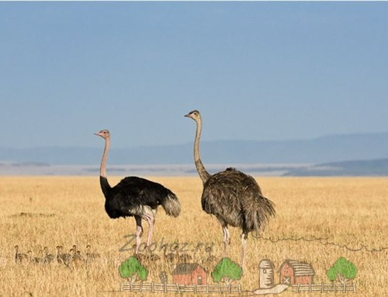 strausi-v-afrikanskoi-pustine-e1417610025225.jpg