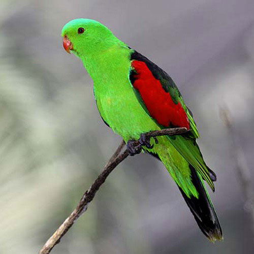 red-winged-parrot-2.jpg