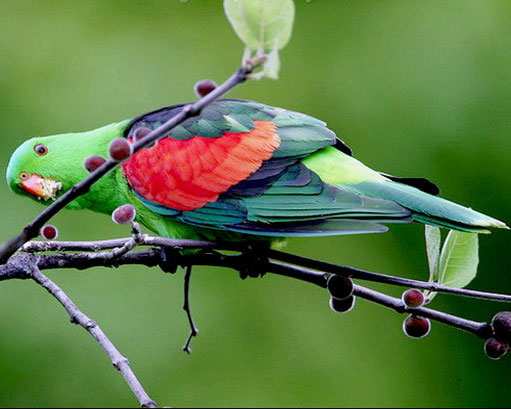red-winged-parrot-3.jpg