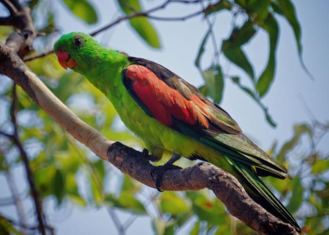 red-winged_parrot__medium.jpg