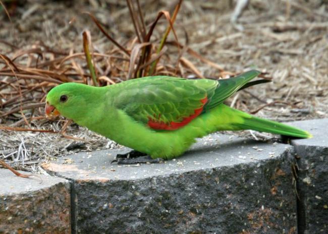 red-winged_parrot_4__medium.jpg