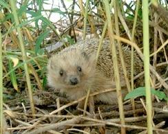 im244-Hedgehog-en.jpg