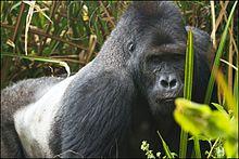 220px-Eastern_lowland_gorilla.jpg