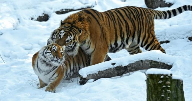 ussuriyskiy-tigr.jpg