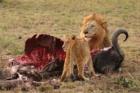 im274-320px-Male_Lion_and_Cub_Chitwa_South_Africa_Luca_Galuzzi_2004.JPG