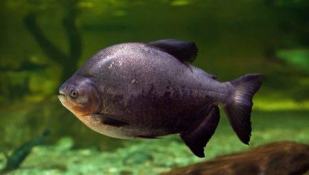 ryba-paku-opisanie-raznovidnostej-uhod-i-razmnozhenie.jpg