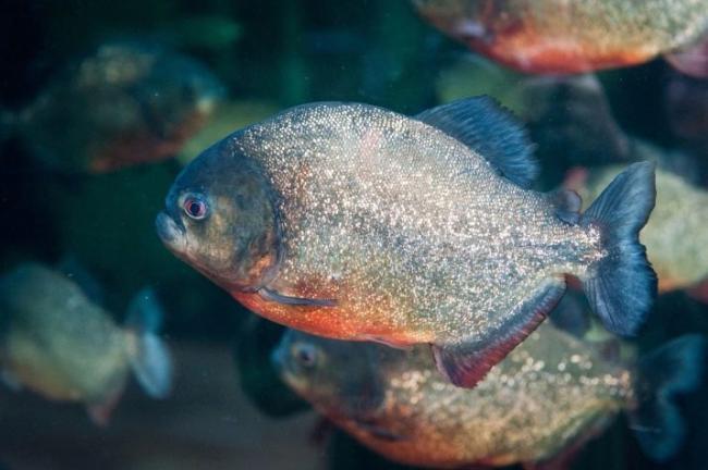ryba-paku-opisanie-raznovidnostej-uhod-i-razmnozhenie-1.jpg