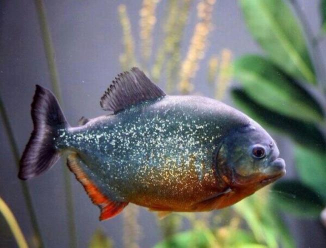 ryba-paku-opisanie-raznovidnostej-uhod-i-razmnozhenie-4.jpg