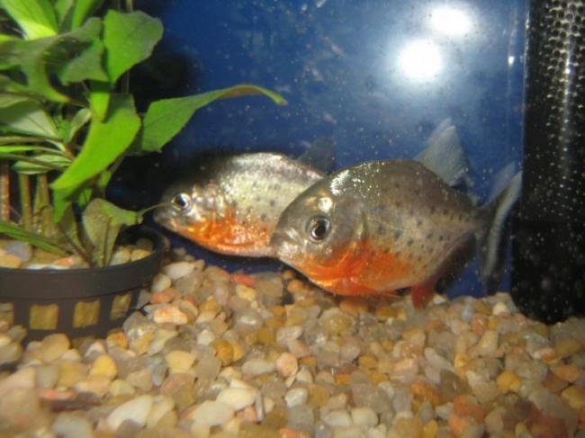 ryba-paku-opisanie-raznovidnostej-uhod-i-razmnozhenie-26.jpg