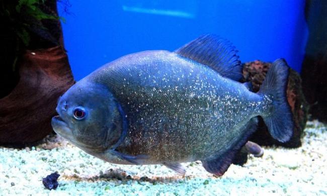 ryba-paku-opisanie-raznovidnostej-uhod-i-razmnozhenie-27.jpg