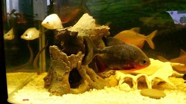 ryba-paku-opisanie-raznovidnostej-uhod-i-razmnozhenie-15.jpg