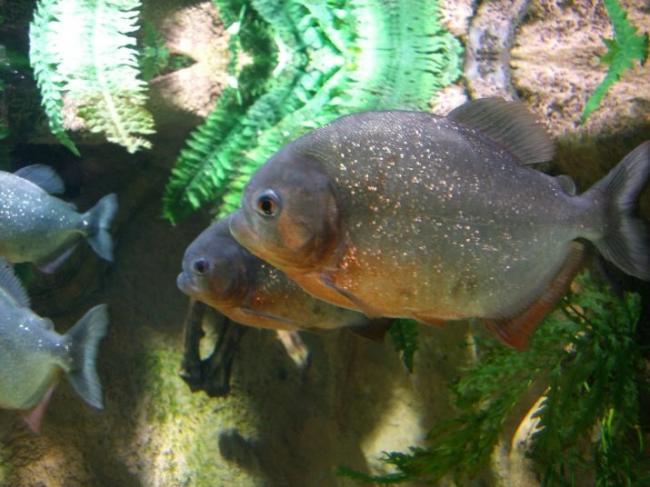 ryba-paku-opisanie-raznovidnostej-uhod-i-razmnozhenie-23.jpg