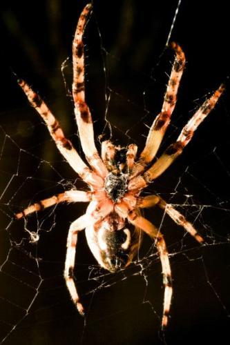 depositphotos_33170121-stock-photo-cross-spider-macro.jpg