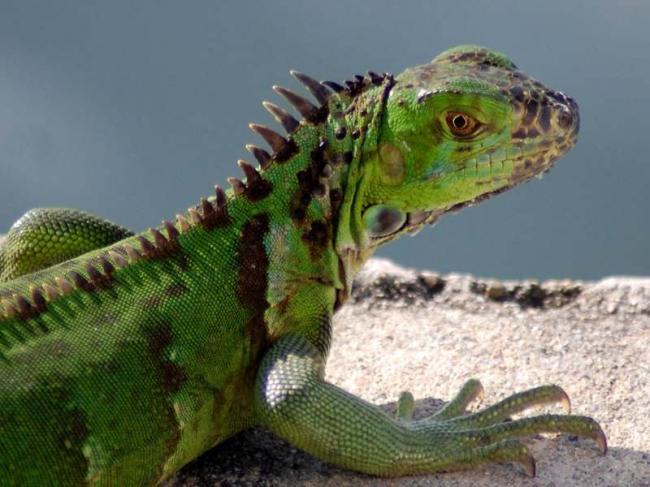 10-zelenaya-iguana.jpg