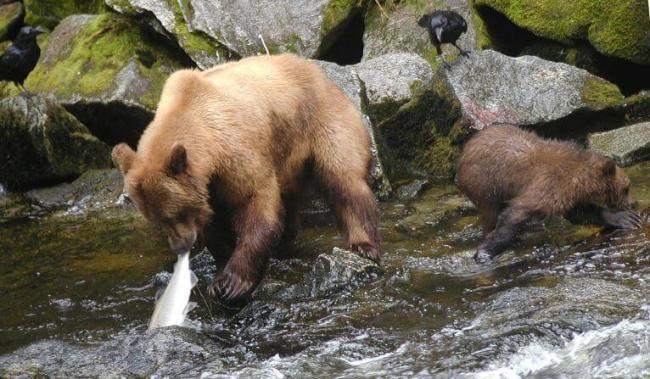 kamchatskiy-buryy-medved-lovit-rybu.jpg