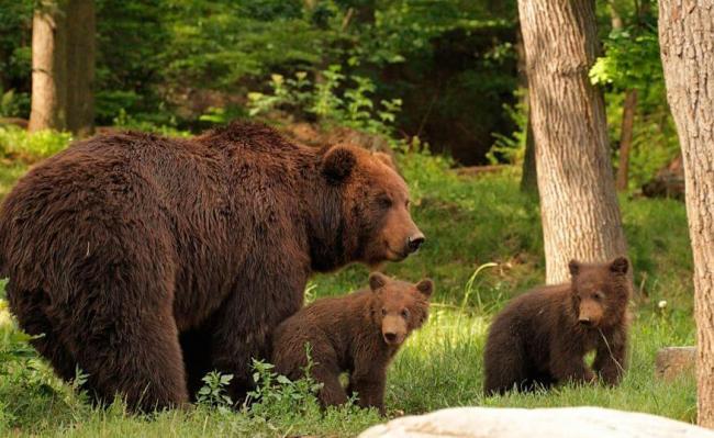 kamchatskiy-buryy-medved-samka.jpg