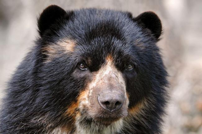 Ochkovyiy-medved.jpg