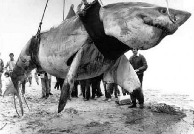 rybaki-pojmali-ogromnuyu-beluyu-akulu.jpg